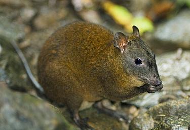 Musky Rat Kangaroo (Hypsiprymnodon moschatus) feeding in habitat; the smallest of the Macropods (Kangaroos) Wet Tropics World Heritage Area, Kuranda, Queensland, Australia  -  Kevin Schafer/ npl