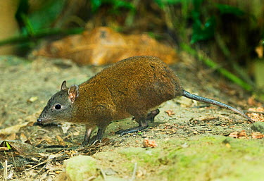 Musky Rat Kangaroo (Hypsiprymnodon moschatus); the smallest of the Macropods (Kangaroos) Wet Tropics World Heritage Area, Kuranda, Queensland, Australia  -  Kevin Schafer/ npl