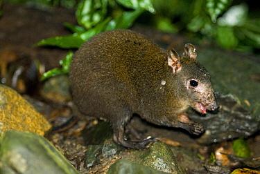 Musky Rat Kangaroo (Hypsiprymnodon moschatus); the smallest of the Macropods (Kangaroos) It is being parasatised by a tick on its neck Wet Tropics World Heritage Area, Kuranda, Queensland, Australia  -  Kevin Schafer/ npl
