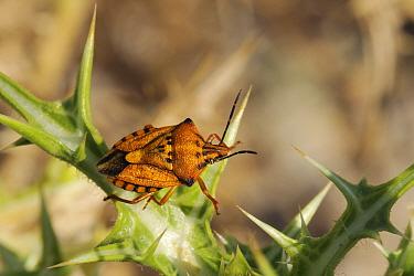 Shield Bug, Stink Bug (Carpocaris pudicus) on a Spiny Sow Thistle (Sonchus asper) leaf Zadar province, Croatia, July  -  Nick Upton/ npl