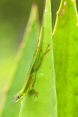 Southern hispaniolan green anole (Anolis coelestinus) on a leaf Pic Macaya National Park, Massif de la Hotte, Haiti, October  -  Claudio Contreras/ npl