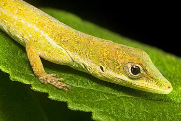 Southern hispaniolan green anole (Anolis coelestinus), Pic Macaya National Park, Massif de la Hotte, Haiti, October  -  Claudio Contreras/ npl