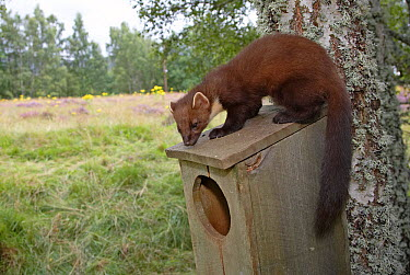 Pine Marten (Martes martes) on roof of Goldeneye (Bucephala clangula) nesting box Cairngorms National Park, Scotland, August  -  Pete Cairns/ npl