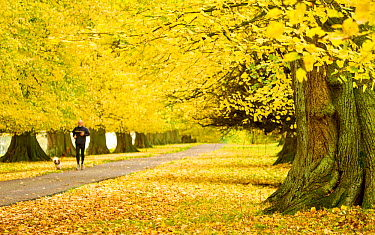 Man with dog jogging down avenue of mature Lime trees leading to Calke Abbey, The National Forest, Derbyshire, UK, November 2010  -  Ben Hall/ 2020V/ npl