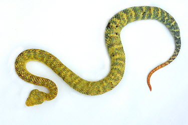 Green Bush Viper (Atheris squamiger) against a white studio background Captive Endemic to West and Central Africa  -  Daniel Heuclin/ npl