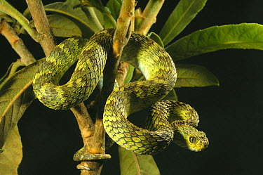 Green Bush Viper (Atheris squamiger) coiled around branches against a black studio background Captive Endemic to West and Central Africa  -  Daniel Heuclin/ npl