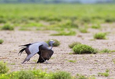 Blue Crane (Anthropoides paradisea) feigning a broken wing to lure a predator away from nest Etosha National Park, Namibia, January  -  Tony Heald/ npl