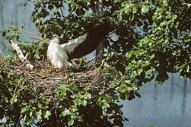 White bellied sea eagle (Haliaeetus leucogaster) fledgling stretching wings in nest, India  -  Ashish & Shanthi Chandola/ npl