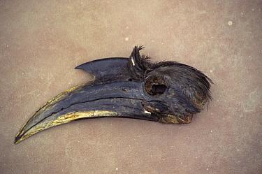 Dead Indian grey hornbill head (Tockus birostris) taken for medicinal trade India  -  Vivek Menon/ npl