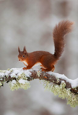 Red squirrel (Sciurus vulgaris) on snow-covered branch in pine forest, Cairngorms NP, Highlands, Scotland, UK, December  -  Peter Cairns/ 2020V/ npl
