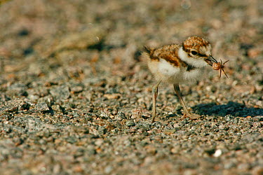Little Ringed Plover (Charadrius dubius) chick with a small spider in its beak Sweden, Europe, June  -  Bjorn Forsberg/ npl