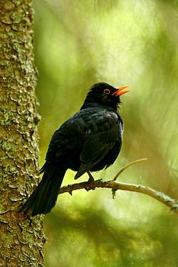 Blackbird (Turdus merula) male perched on a twig and calling Sweden, Europe, May  -  Bjorn Forsberg/ npl