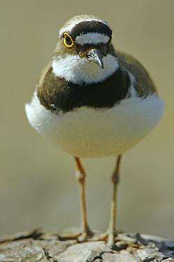 Portrait of a Little Ringed Plover (Charadrius dubius) Sweden, Europe, June  -  Bjorn Forsberg/ npl