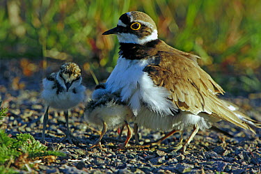 Little Ringed Plover (Charadrius dubius) adult with two chicks Sweden, Europe, June  -  Bjorn Forsberg/ npl