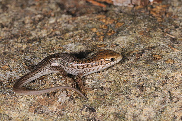 Cape Skink (Trachylepis capensis) hatchling De Hoop Nature Reserve, Western Cape, South Africa, January  -  Tony Phelps/ npl