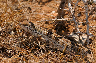 Cape Skink (Trachylepis capensis) female camouflaged in minimal cover De Hoop Nature Reserve, Western Cape, South Africa, January  -  Tony Phelps/ npl