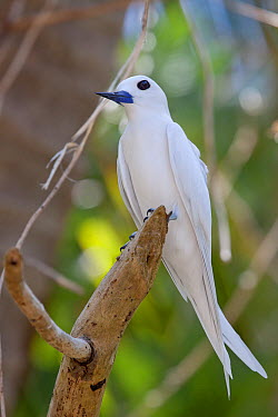 White Tern (Gygis alba) perched on a branch Gaferut Atoll, Yap Group, Federated States of Micronesia, April  -  Brent Stephenson/ npl