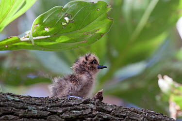 White Tern (Gygis alba) chick on a branch Gaferut Atoll, Yap Group, Federated States of Micronesia, April  -  Brent Stephenson/ npl