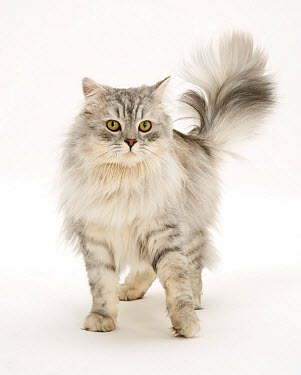 Silver tabby Chinchilla male cat  -  Jane Burton/ npl