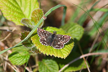Grizzled Skipper (Pyrgus malvae) on leaf of Wayfaring Tree (Viburnam lantana) Surrey, UK, April  -  Kim Taylor/ npl