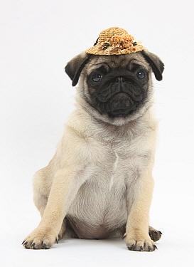 Fawn Pug puppy, 8 weeks, wearing a straw hat  -  Mark Taylor/ npl