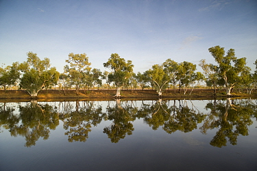Row of Eucalyptus trees (Eucalyptus sp) reflected on an oasis in the middle of the dry outback Camooweal campground, Queensland, Australia, February 2008  -  Jurgen Freund/ npl