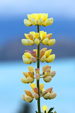 Yellow Lupine (Lupinus sp) flower spike El Calafate, Argentina, Patagonia, South America, March  -  Mark Taylor/ npl