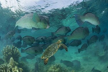 Largee schooling Bumphead parrotfish (Bolbometopon muricatum) with a passing Hawksbill turtle (Eretmochelys imbricata) Sipadan Island, Sabah, Malaysia  -  Jurgen Freund/ npl