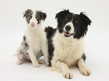 Black-and-white Border Collie, and Blue merle puppy, 10 weeks  -  Mark Taylor/ npl