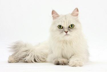 Chinchilla Persian female cat, 6 years  -  Mark Taylor/ npl