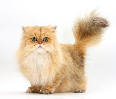 Golden Chinchilla Persian female cat, 6 years  -  Mark Taylor/ npl