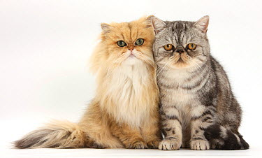 Golden Chinchilla Persian female cat, 6 years, with silver tabby exotic male cat, 5 years  -  Mark Taylor/ npl