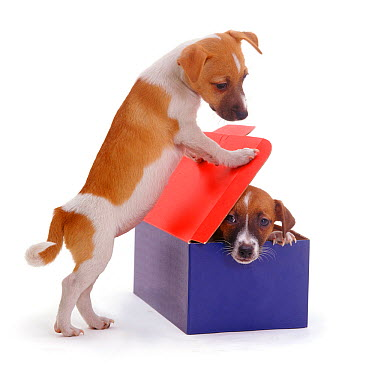 Two Smooth coated Jack Russell Terriers, black, tan and white, playing with a cardboard box  -  Jane Burton/ npl