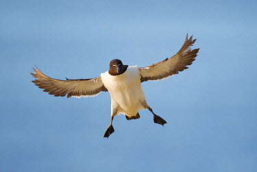 Razorbill (Alca torda) stalling in flight, about to land, Hermaness NNR, Unst, Shetland Islands, Scotland, UK, June  -  Peter Cairns/ 2020V/ npl