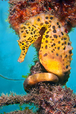A male Large, Pot Bellied Seahorse (Hippocampus abdominalis) with its tail coiled around rope Manly, Sydney, New South Wales, Australia, March  -  Alex Mustard/ npl