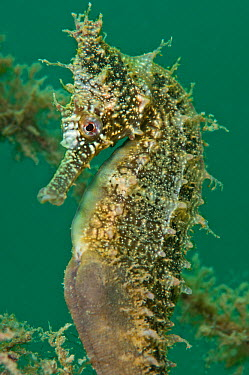A portrait of a male White's Seahorse (Hippocampus whitei) Chowder Bay, Sydney Harbour, New South Wales, Australia, November  -  Alex Mustard/ npl