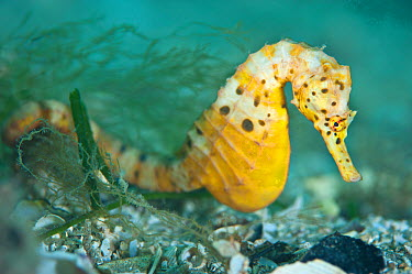 A female Large, Pot Bellied Seahorse (Hippocampus abdominalis) Mornington Peninsular, Victoria, Australia, March  -  Alex Mustard/ npl