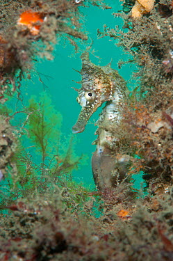 White's, Golden Seahorse (Hippocampus whitei) framed by marine plants Chowder Bay, Sydney Harbour, New South Wales, Australia, February  -  Alex Mustard/ npl