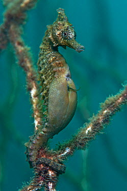 A male Golden, White's Seahorse (Hippocampus whitei) giving birth, note the tail of a baby protruding from his brood pouch Manly, Sydney, New South Wales, Australia, March  -  Alex Mustard/ npl