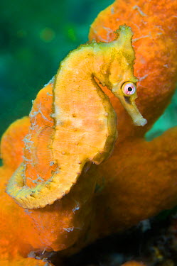 A female White's Seahorse (Hippocampus whitei) on an orange sponge Nelson Bay, Port Stephens, New South Wales, Australia, November  -  Alex Mustard/ npl
