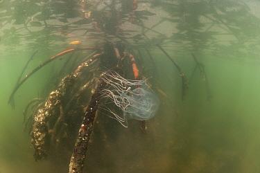 Box jellyfish (Chironex sp) amongst mangrove roots, Palawan, Philippines  -  Jurgen Freund/ npl