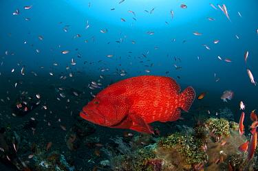 Tomato grouper (Cephalopholis sonnerati) on coral reef, Bali, Indo-pacific  -  Jurgen Freund/ npl