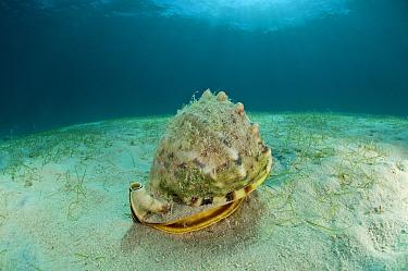 Horned helmet conch snail (Cassis cornuta) feeding on by sucking out a Sand dollar, Palawan, Philippines, Indo-pacific  -  Jurgen Freund/ npl