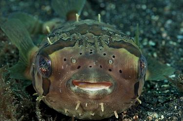 Globefish (Diodon nicthemerus) Lembeh Strait, North Sulawesi, Indonesia  -  Jurgen Freund/ npl