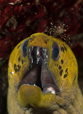 Fimbriated moray eel (Gymnothorax fimbriatus) with a cleaner shrimp Lembeh Strait, North Sulawesi, Indonesia  -  Jurgen Freund/ npl