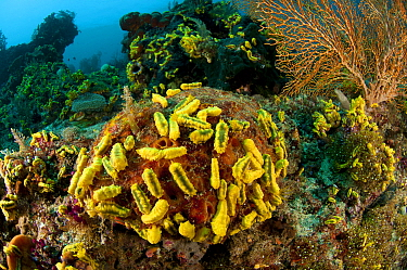 A carpet of yellow sea cucumbers (Colochirus robustus) in the reef North Raja Ampat, West Papua, Indonesia,  -  Jurgen Freund/ npl