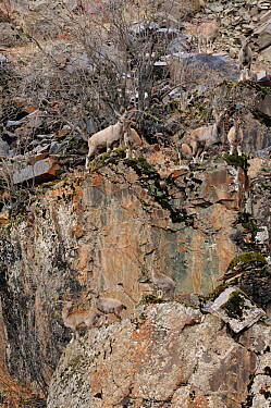 A herd of Markhor (Capra falconeri) on rugged terrain, blending into the background with their camouflaged coats Tajikistan, Central Asia, November  -  Eric Dragesco/ npl