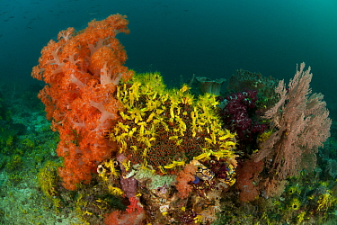 A carpet of Yellow sea cucumbers (Colochirus robustus) in the reef North Raja Ampat, West Papua, Indonesia, February  -  Jurgen Freund/ npl