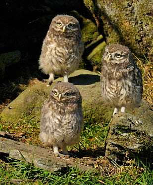Three Little Owl (Athene noctua) chicks outside stone wall nest Wales, UK, June  -  Andy Rouse/ npl