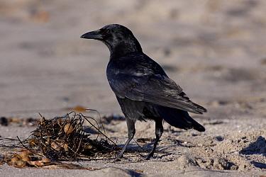 American Crow (Corvus brachyrhynchos) standing on sandy beach Santa Barbara, California, USA, December  -  Lynn M. Stone/ npl